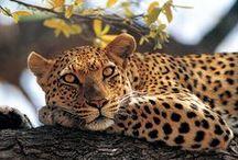 """Les Animaux en Safaris / Approcherez au plus près les fameux """"big five"""" : lion, léopard, éléphant, rhinocéros et buffles. L'Afrique, terre de contrastes où se mêlent les Tsingys de Madagascar, le Kilimandjaro, la réserve du Masaï Mara, le lac Rose au Sénégal, mais aussi les chutes Victoria en Afrique du Sud. Imaginez un coucher de soleil dans le désert du Namib, une rencontre avec les gorilles du Rwanda ou les félins du Ngorongoro,... N'hésitez plus et partez pour l'aventure avec un safari."""