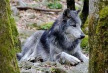 Wolves ~ Волки