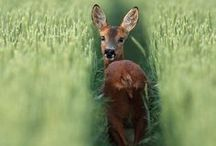 CRITTER Deer & Others Somewhat Similar 1 of 1 / Deer and similar animals / by karen campbell