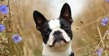 Boston Terrier - Ludwig Gustaf / One of the life goals I am striving to achieve