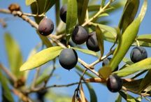 Olives!!! / Best fruit in the world