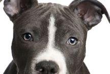 ****Pittbull's...My Favorite Type of Dog***