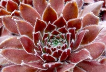 Lovely Hardy Succulents / Intriguing variety, color, and texture. Hardy, easy to propagate, and low maintenance.
