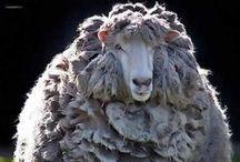 Schapen / schapen en lammeren