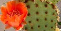 Beautiful Blooming Cacti