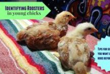 Homestead | Chickens / Every snippet of info I have found useful since buying my first batch of chicks :)  / by Sam Knight
