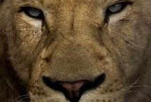 LION / LöWE / ASLAN / شیر