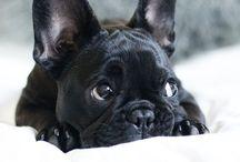 French bulldogs / French bulldogs