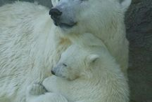 Il orso polare