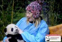 chengdu panda tour packages / chengdu panda tour package|attractions,travel guide|itinerary chengdu westchinago travel service www.westchinago.com info@westchinago,com