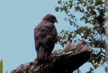 Hawaiian Hawks / Images of the majestic and endangered 'Io, Hawaiian Hawk (Buteo solitarius) from the Big Island of Hawai'i