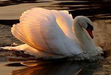 White Swan / Altrhein