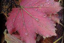 Fall • plum