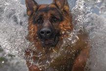 German shepherd dog / german shepherd dog