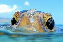 Sea turtles / Pics from a stunning animal