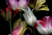 tulipes merveilleuses