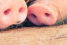 Pigs / Pigs / by Melissuhh Smiles
