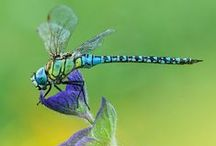 Dragonfly Beauty / Real pictures of dragonflies close up, in their natural environments , or fossilized  / by Sherry Nesbit Evans