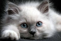Beautiful Cats / Beauty overload => For a purrrfect use of our pinboards, please follow these 2 rules:  1) Only pin pictures of Beautiful Cats     2) Add - #showmecats #thebeauty - in your pin description for better exposure