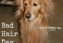 Funny Goldens! / A few chuckles for you from golden retrievers Augie and Ti and friends!  Be sure to check out our shop at http://www.zazzle.com/AugieDoggystore*/