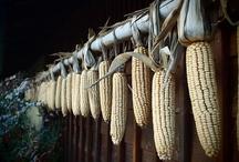 Corn on the farm~ / by Kris Casucci