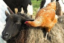 Sheep~ / by Kris Casucci