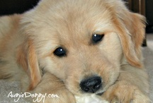 Golden Retriever Puppies! / Some puppy pictures of golden retrievers Augie and Ti!  Augie was born in 2006, and Ti was born in 2007.  Come visit our website (www.AugieDoggy.com), our shop (www.Zazzle.com/AugieDoggyStore*) and our Facebook page (http://www.facebook.com/AugieDoggyFanPage)!