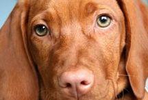 Animals - Hungarian dogs / hungarian dogs, vizsla, puli, mudi, komondor, kuvasz animal, dog