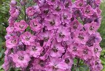 Gardening: Delphinium