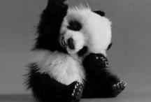Panda^