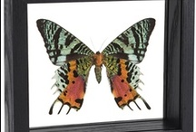 Moths / Evolution's beautiful butterflies and moths are available in a variety of framing options. We also welcome custom orders. Please contact our entomology department for more information.