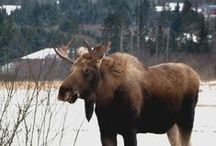 MOOSE / by isabel carr