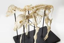 Skeletons / Real, replica and articulated Skeletons.  Human and Animal.
