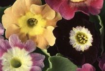 Inspiration - auriculas / Auriculas and Auricula theatres as inspiration for needle-turn appliqué  / by Dawn Chorus Studio