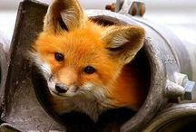 foxes:)