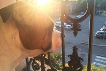 Amstaff / Dog amstaff amore puro TOKY