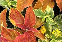 Variegated Foliage / The enormous variety found in variegated foliage is astounding!