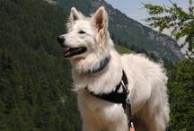 berger blanc suisse-shepherd - herder