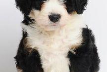 Newfoundlanský a bernský salašnický pes - Newfoundland a Bernese mountain dog