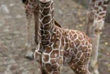 žirafy - giraffe