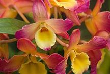 orchids / Beautiful, strange and exotic orchid varieties, share and enjoy. (To join this board, please send a message or e-mail gardenlovers@zoho.com, and an invitation will follow shortly. Feel free to invite other members. Irrelevant pins will either be moved to a more appropriate board or will be removed. Please add pins and re-pin with consideration to other members. Have fun!)