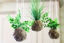 kokedama / Discover the amazing art of Japanese string gardens, share diy tips and a little bit of eye candy for inspiration.  Happy string gardening! (To join this board, please send a message to Garden Lover's or e-mail gardenlovers@zoho.com, and an invitation will follow shortly. Feel free to invite other members. Irrelevant pins will either be moved to a more appropriate board or will be removed. Please add pins and re-pin with consideration to other members. Have fun!)