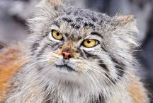 Animal: Cats of the Wild / Cats of the wild! / by Angie Rowe