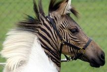 Animal: Zorses & Zonkeys & Zonys / by Angie Rowe
