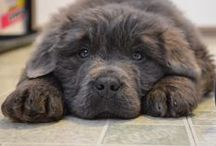 Björn's pictures <3 / Newfoundland puppy pictures.