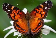 Butterflies / No limit on repins here. Take as many as you'd like. / by Dawn Jostiak