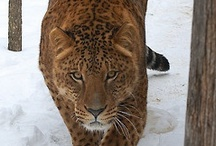 Jaguars!!!!