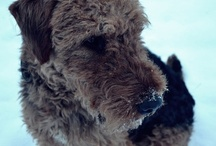 my airedale Bert <3