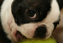 Boston Terriers and French Bulldogs / by Melissa Van Rensburg