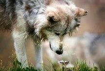 There's Something About Wolves... / Beautiful creatures, they are.